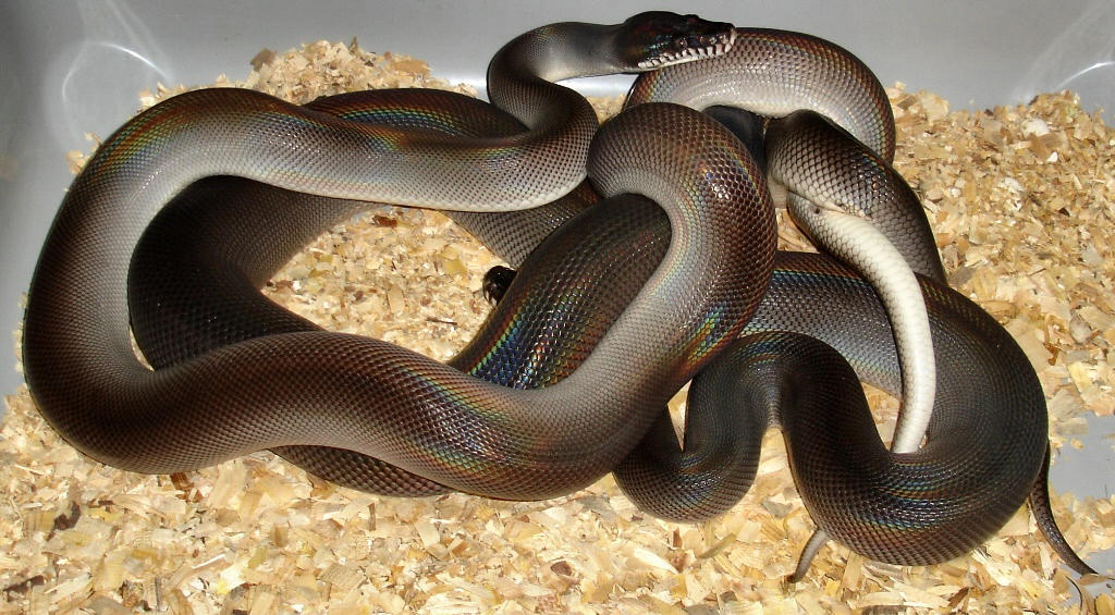 Molecular Reptile - Online snakes and information