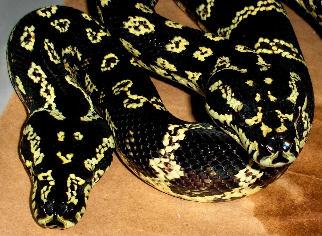 Jungle Carpet Pythons As Pets | Scifihits.com